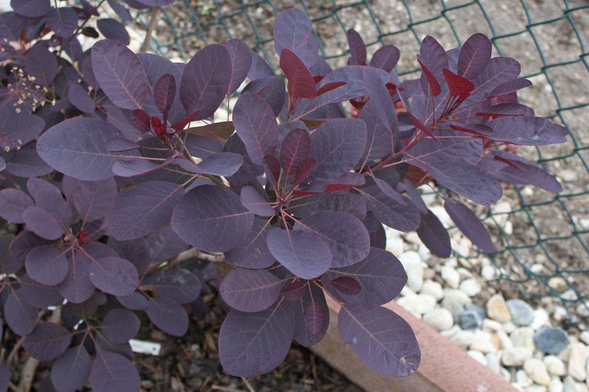 "Cotinus coggygria ""Royal Purple"""