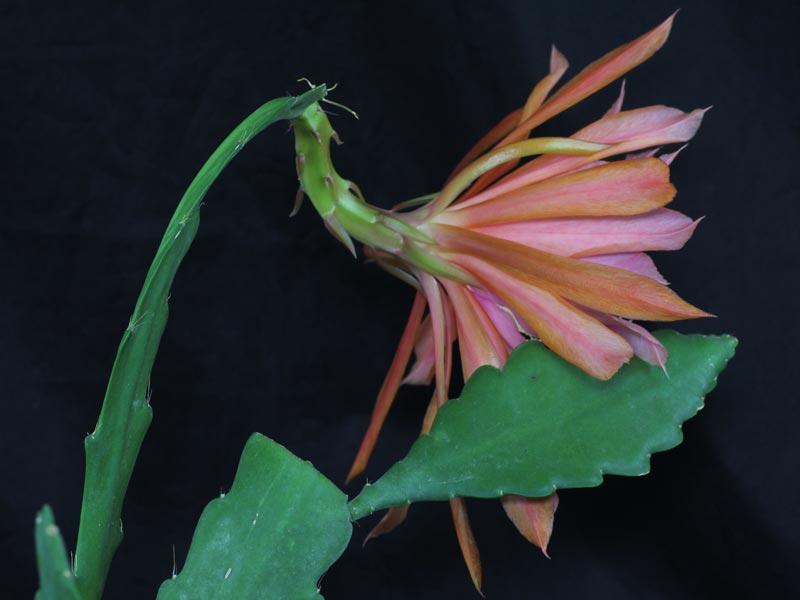 bladcactus