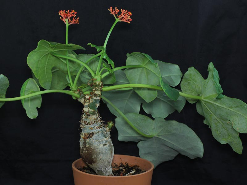 flessenplant