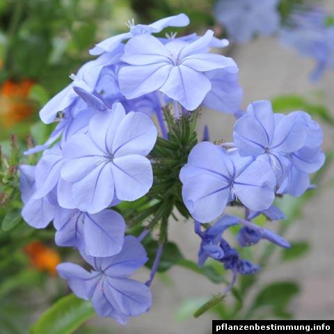 plumbago azul