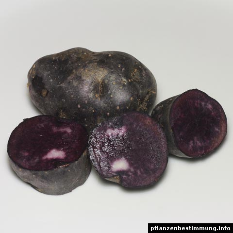 kartoffel vitelotte