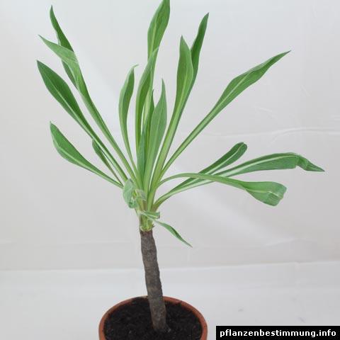 scorzonera hispanica