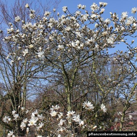 stern-magnolie