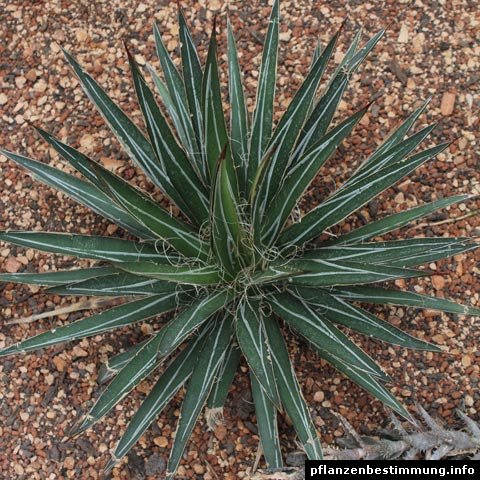 Agave parviflora