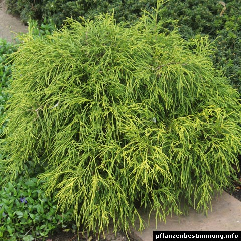 Chamaecyparis pisifera