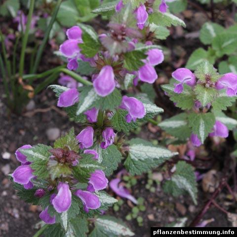 Lamium maculatum Chequers