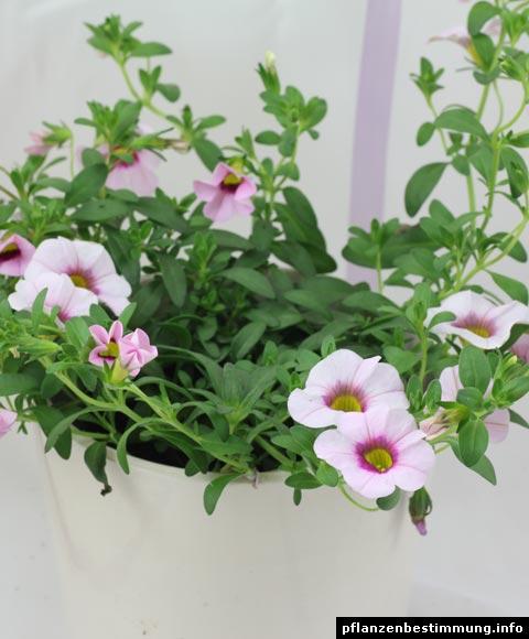 petunia calibrachoa