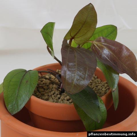 Echinodorus-Hybride