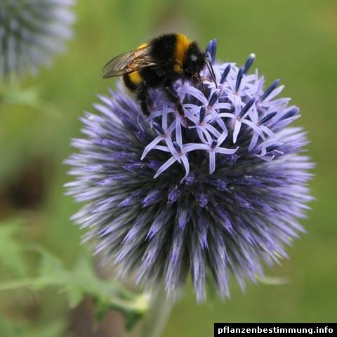 echinacea purpurea. Black Bedroom Furniture Sets. Home Design Ideas