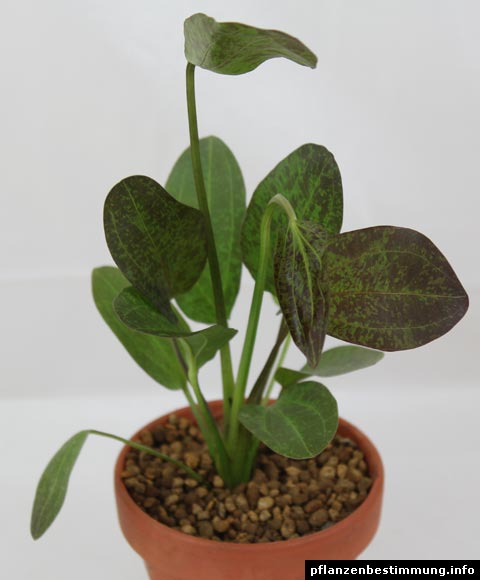 Rote Schwertpflanze