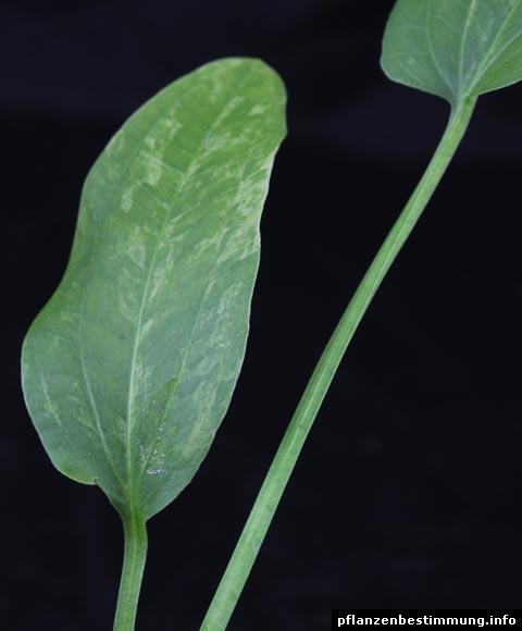 Schwertpflanze