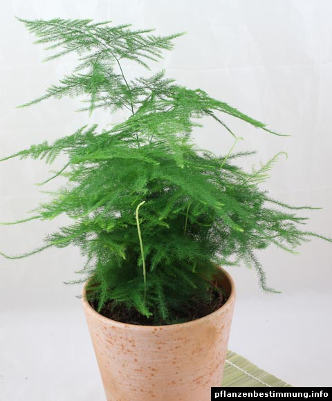 Asparagus setaceus for Asperge plante interieur