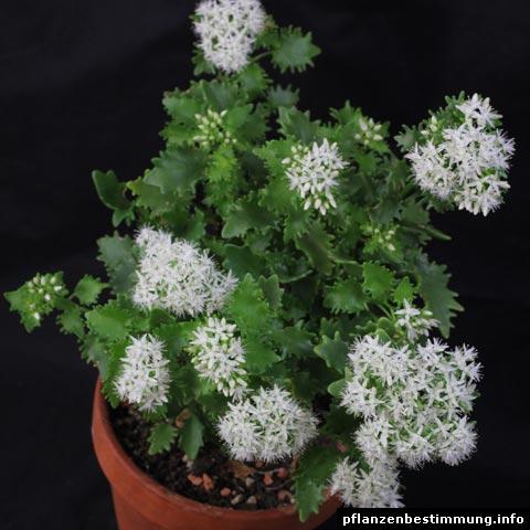 Hylotelephium populifolium