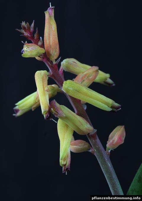 Lachenalia Blüten