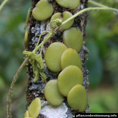 Pyrrosia piloselloides