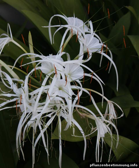 Hymenocallis sp.