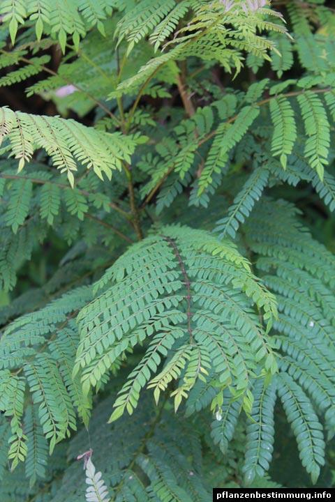 Jacaranda-Blätter