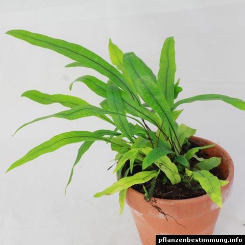 Microsorum diversifolium