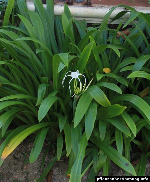 Spinnenlilie