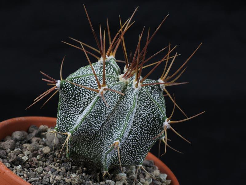 Astrophytum ornatum mirbelii