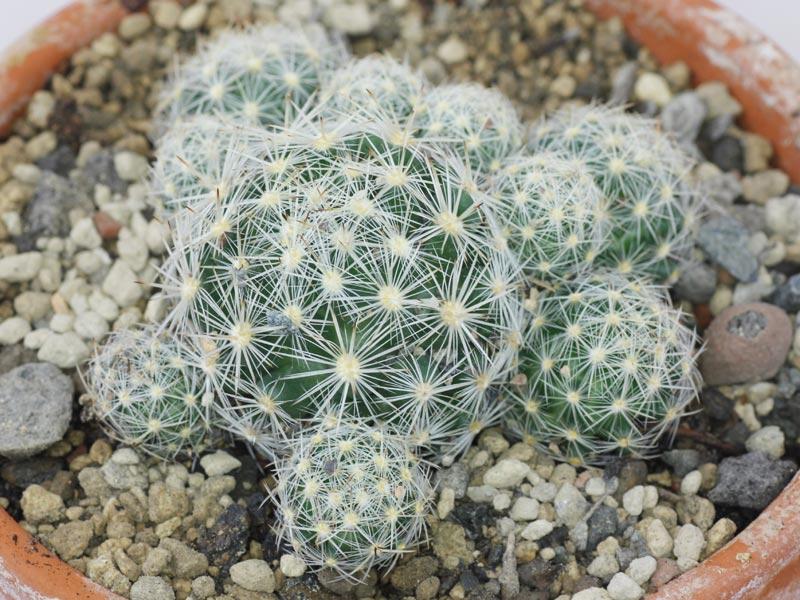 Nadelkissen-Kaktus