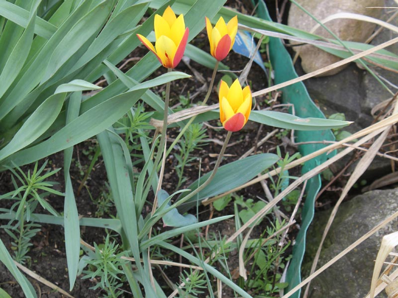 Lady Tulip