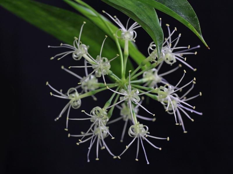 Drachenbaum-Blüten