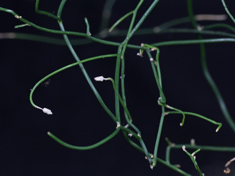 Schizobasis