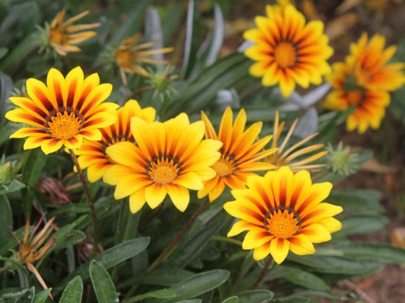 Gazania cv