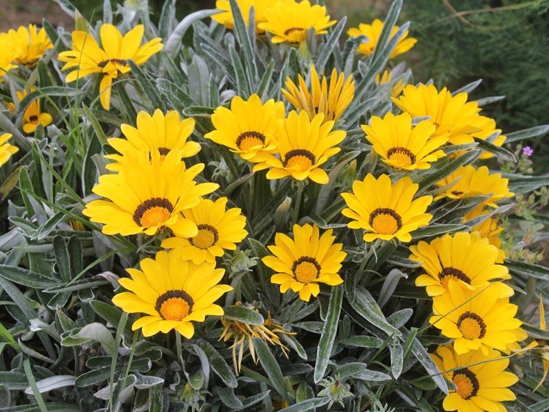 Gazania jaune