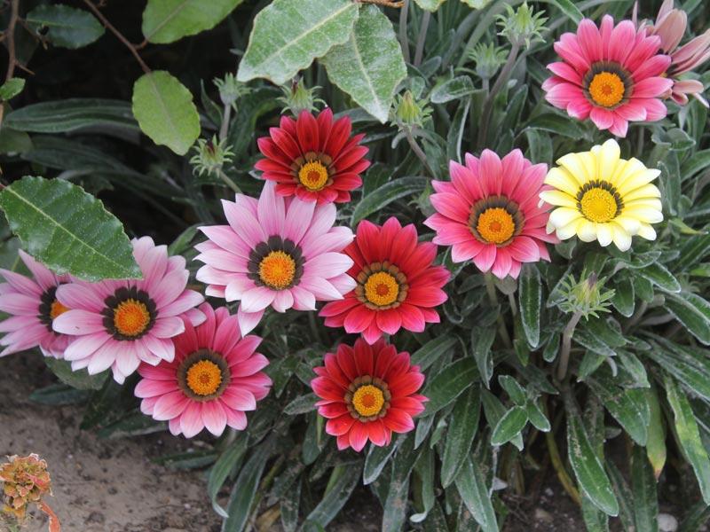 Gazania roze