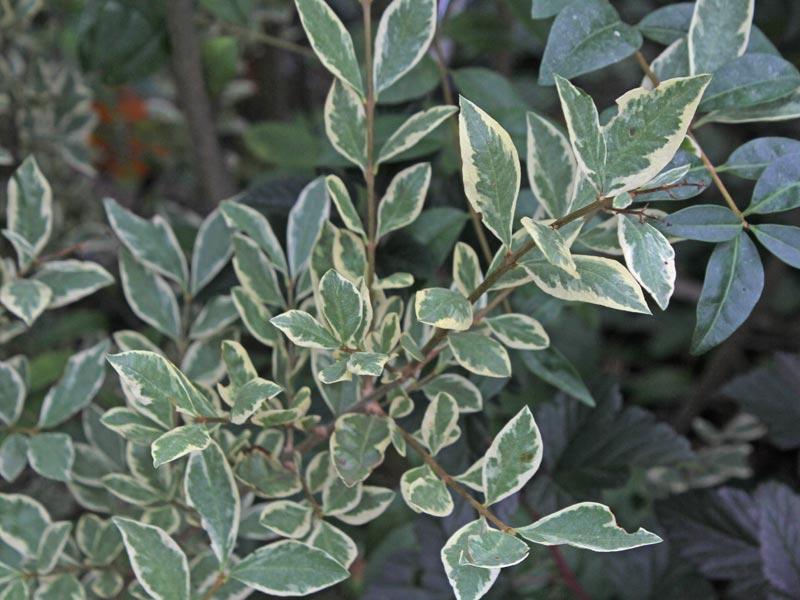 Ligustrum ovalifolium Argentea