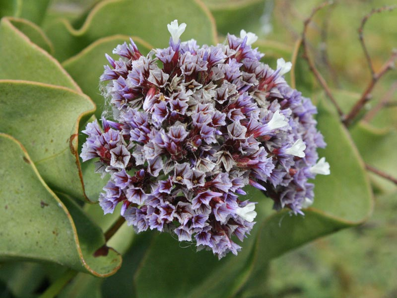 Limonium macrophyllum