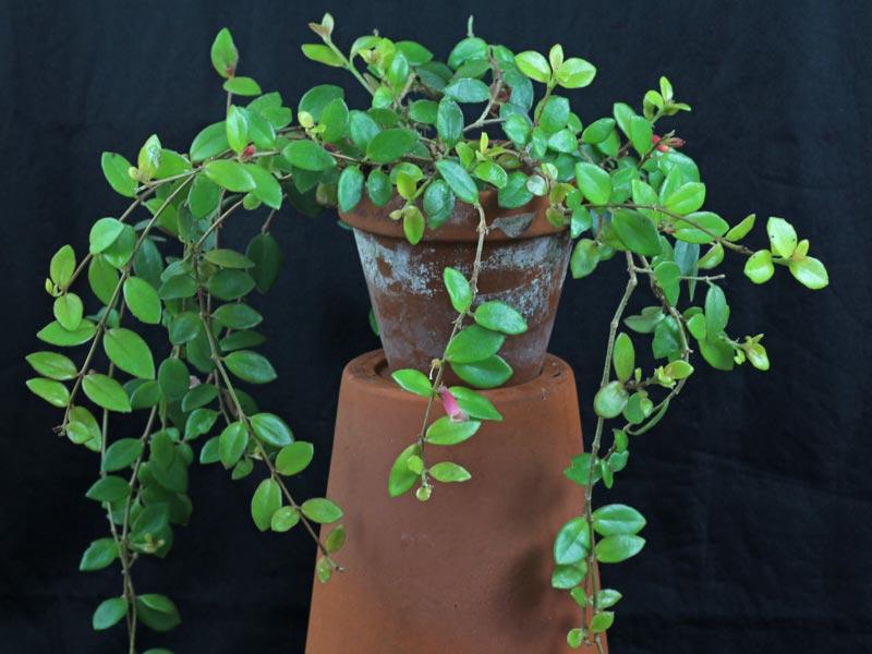Codonanthus Tambourine
