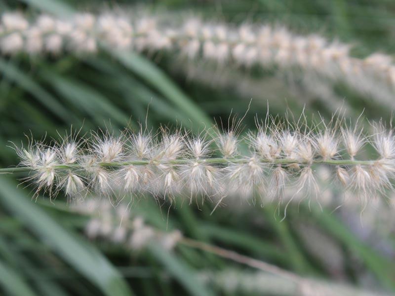 borstgräs