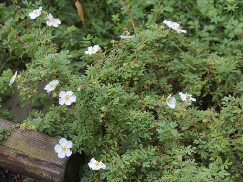 Dasiphora fruticosa Abbotswood