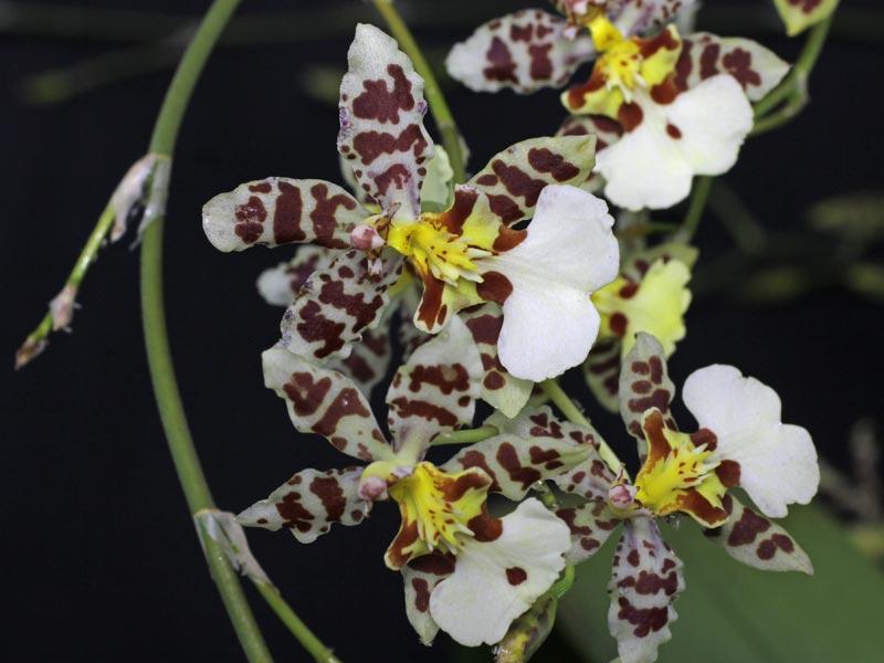 Oncidium hyphalmaticum x splendidum