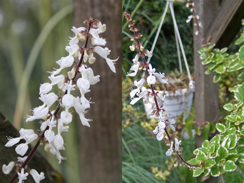 Plectranthus forsteri