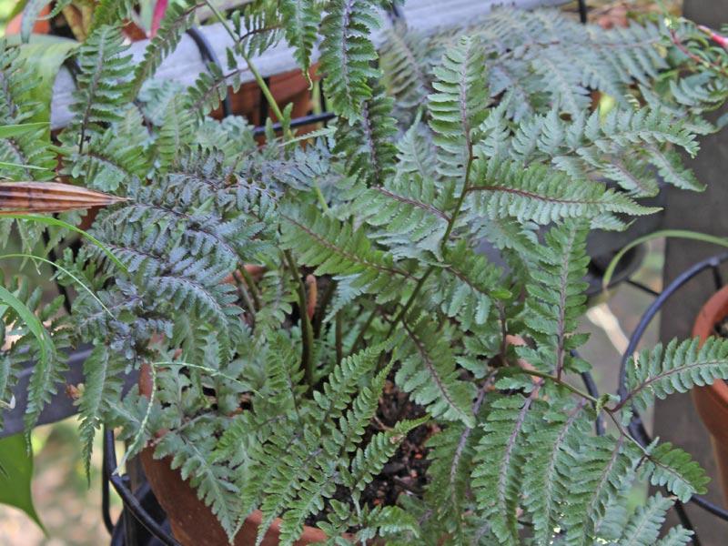 Athyrium niponicum Metallicum