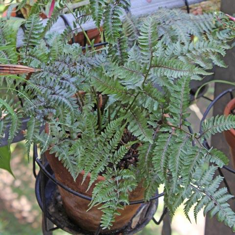 Athyrium niponicum