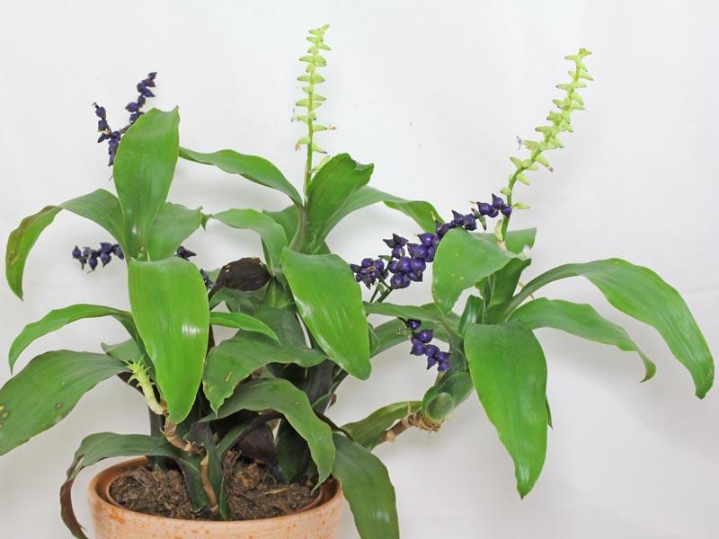 Lymania smithii