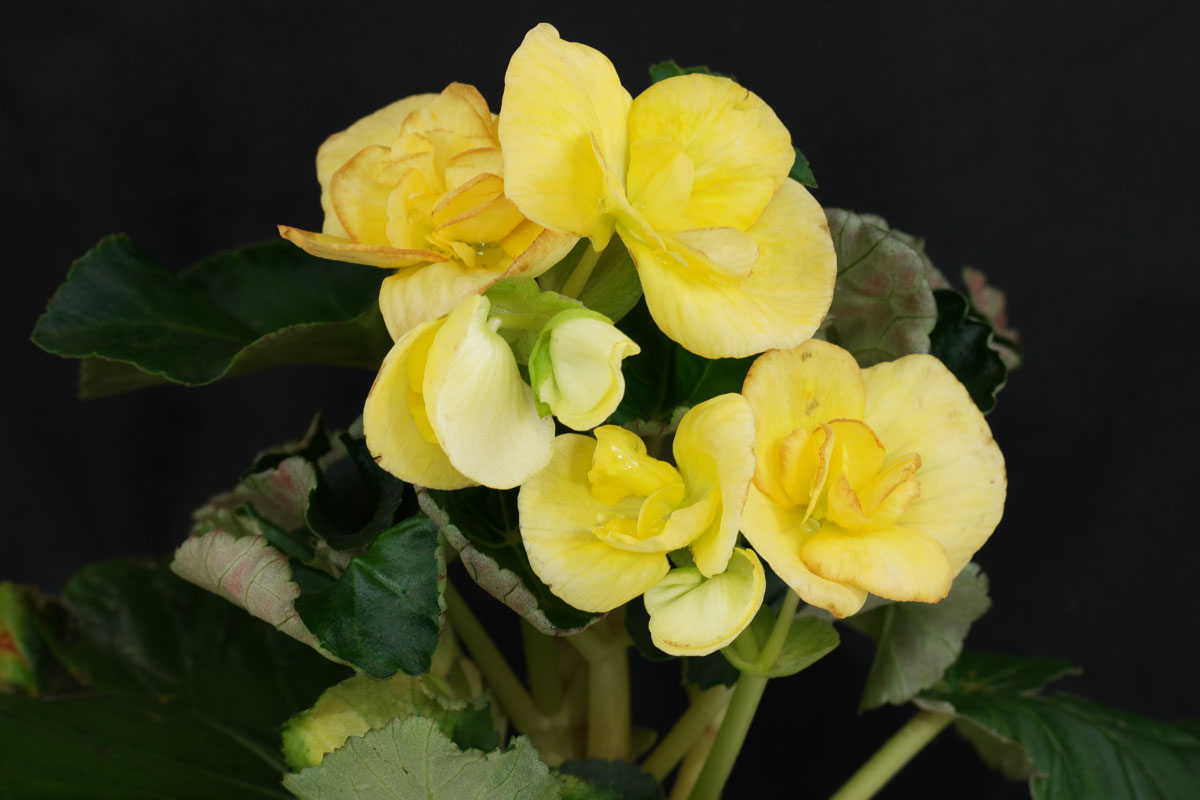 begonia interior