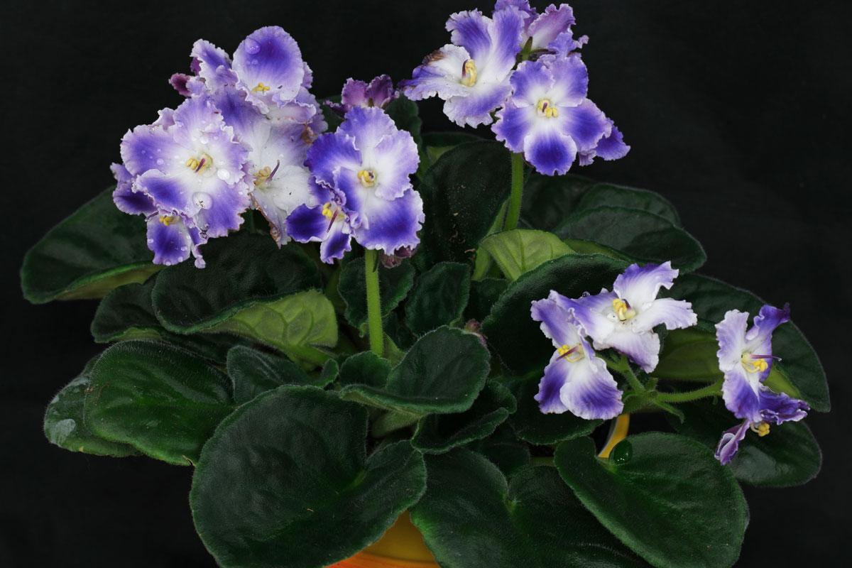 sępolia fiołkowa