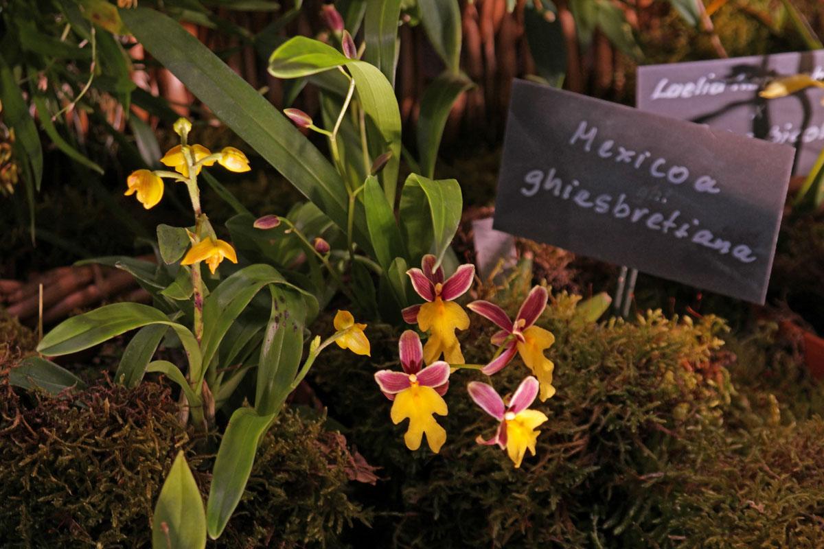 Oncidium ghiesbreghtianum