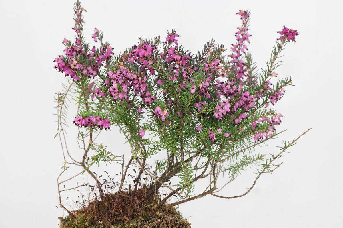 Erica carnea rouge