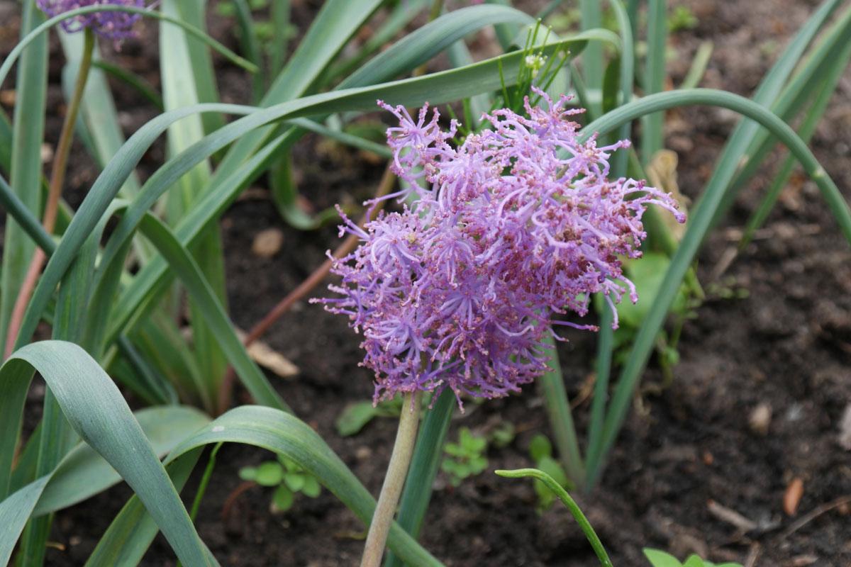 Leopoldia comosa Plumosum