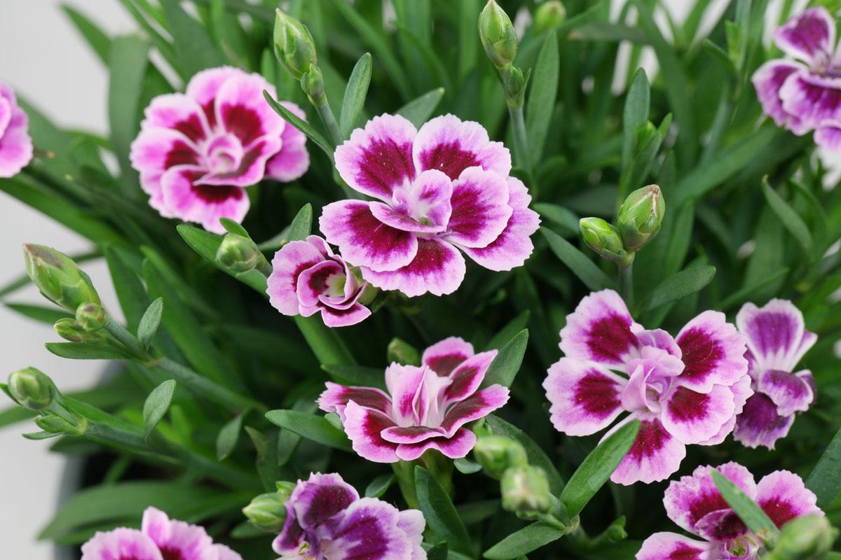 Dianthus caryophyllus Pink Kisses