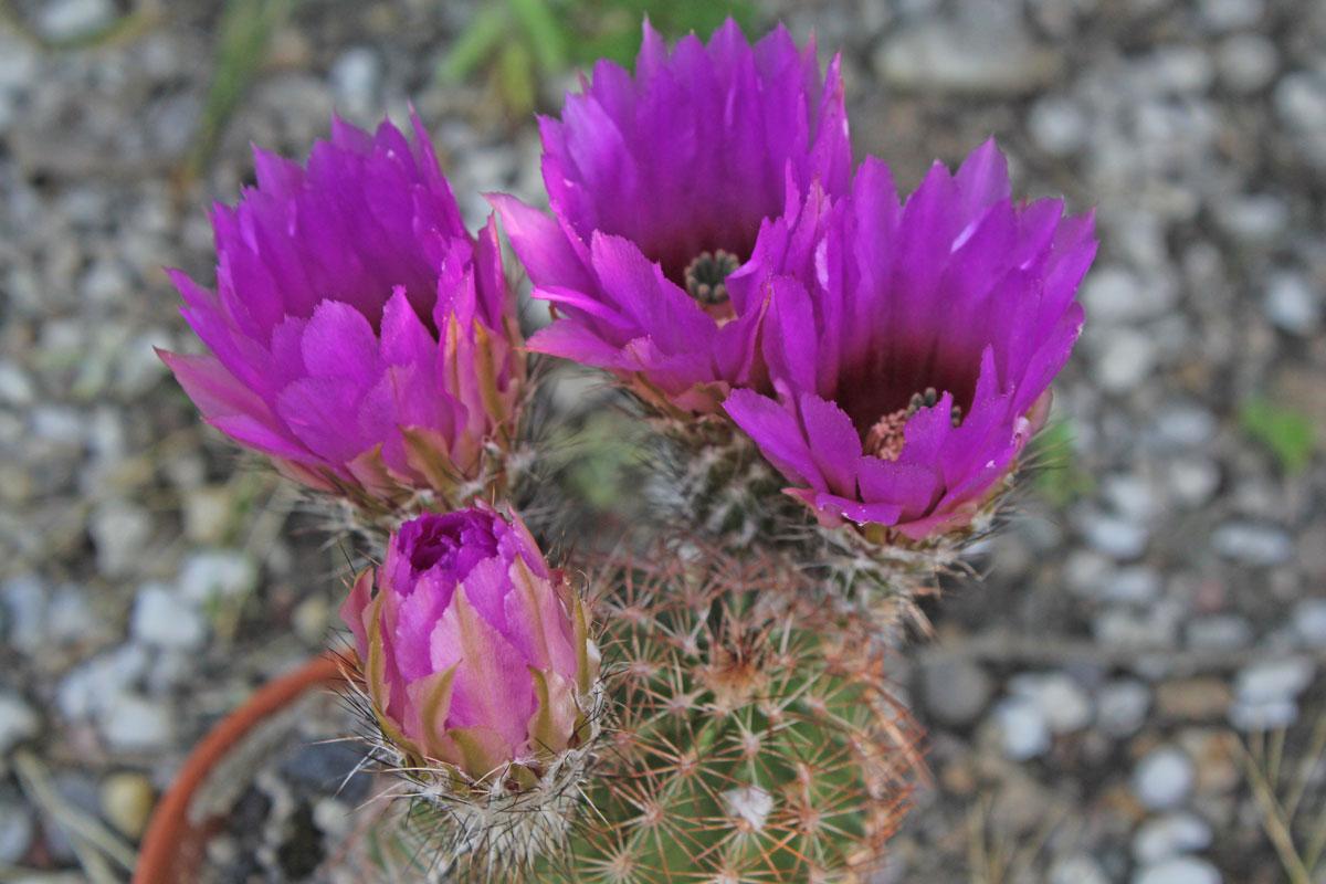 Echinocereus reichenbachii ssp baileyi