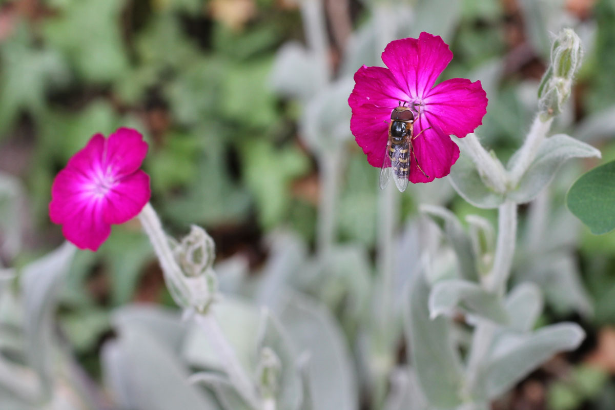 clavel lanudo