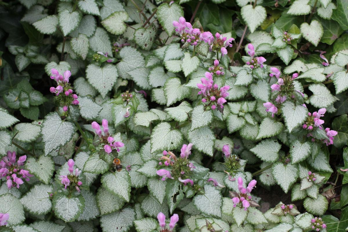 Lamium maculatum Pink